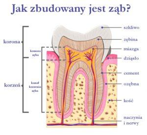 Jak zbudowany jest ząb?
